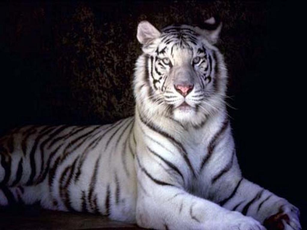 tiger hd wallpapers check out the cool latest white tiger images high 1024x768