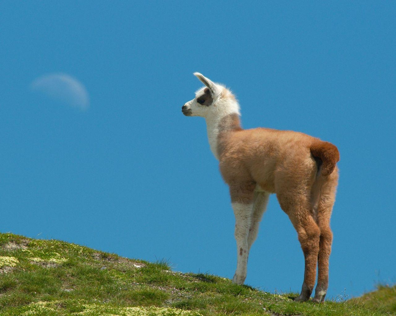 llama wallpaper   Quotekocom 1280x1024
