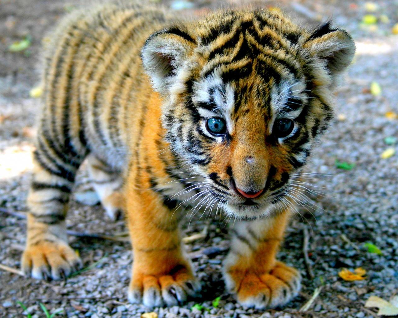 1280x1024 Cute Tiger Cub desktop PC and Mac wallpaper 1280x1024
