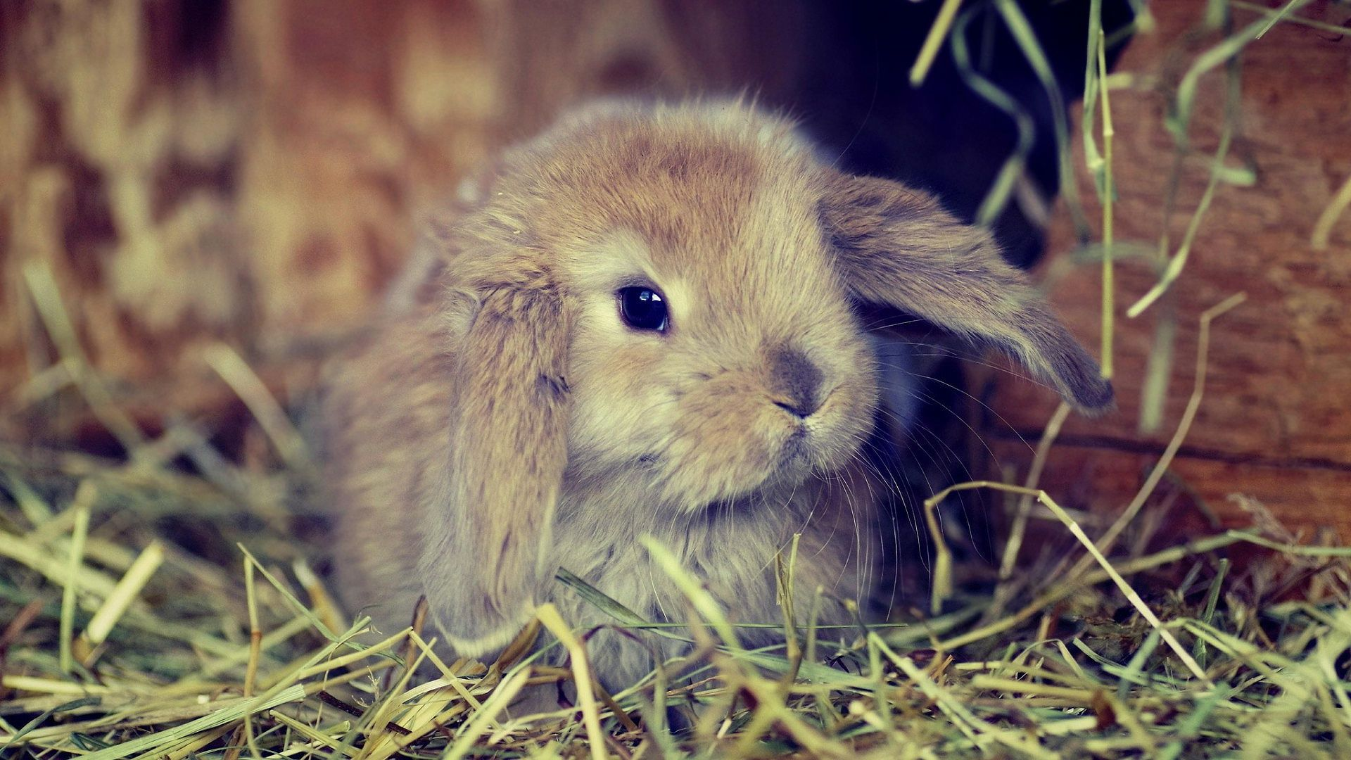 Free Download 1920x1080 Cute Fluffy Bunny Wallpaper Urban Chicy