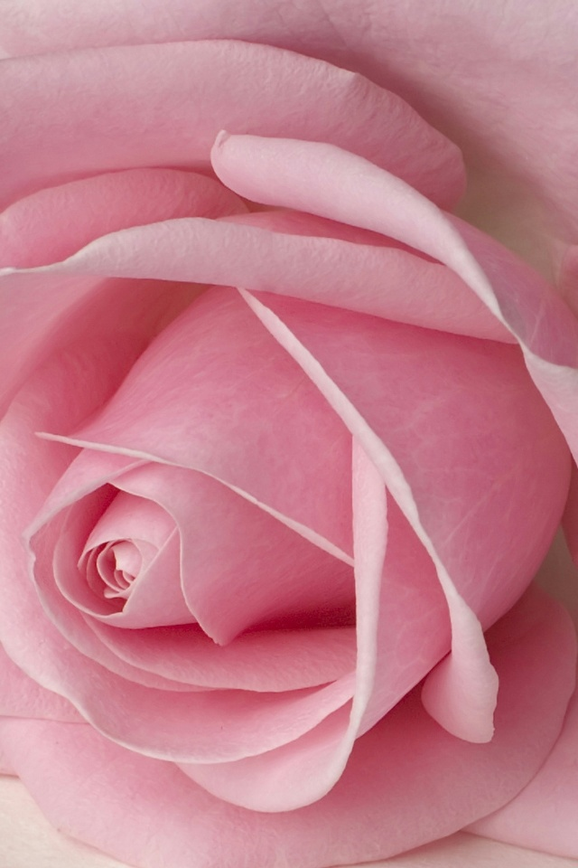 Pink Rose Petals iPhone 4 Wallpaper and iPhone 4S Wallpaper 640x960