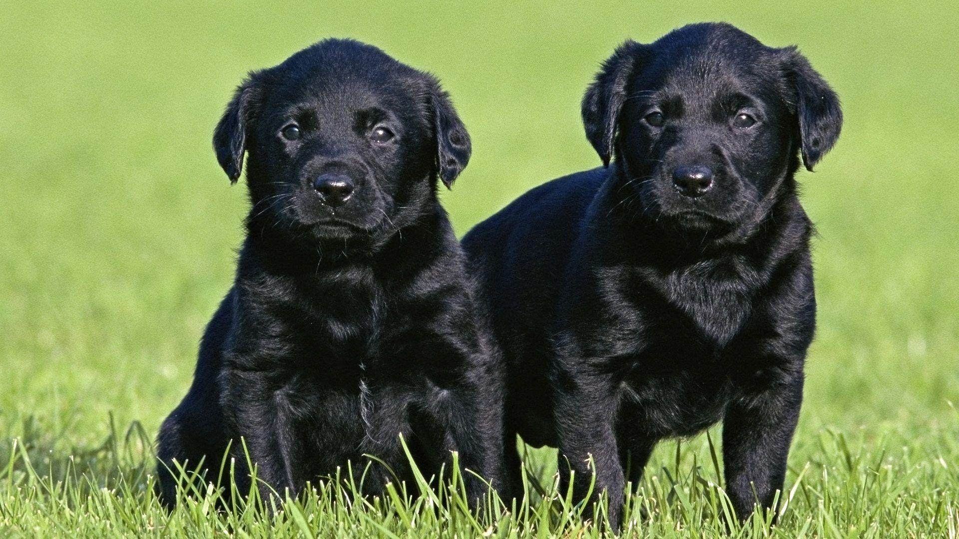 Black Lab Puppy Wallpapers 1920x1080