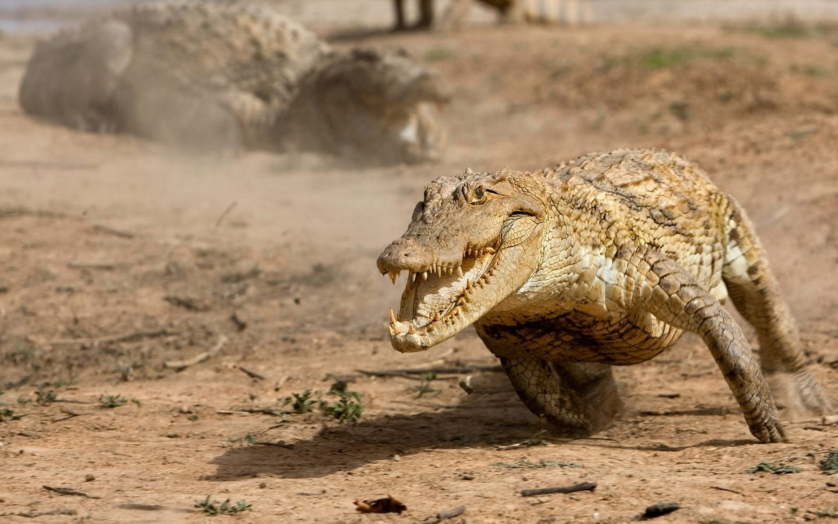 Running alligator wallpapers and images   wallpapers pictures photos 1680x1050