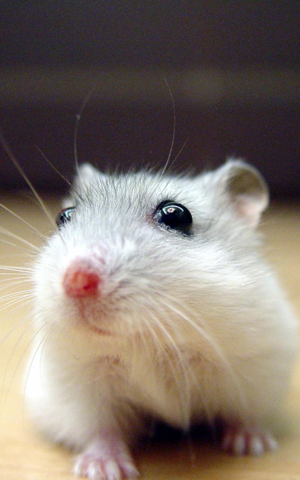 Black Eyed White Mouse iPhone 6 Plus HD Wallpaper iPod Wallpaper HD 1000x1600