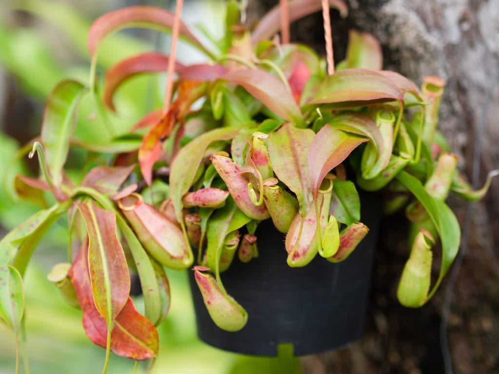 Fixing A Nepenthes With Red Leaves   Reasons For Pitcher Plant 1024x768