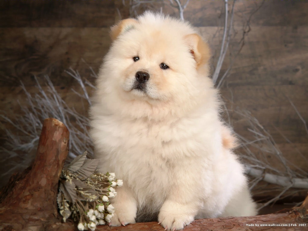 Cute Chow Chow Puppy Dog Wallpaper for your Computer Desktop 1024x768