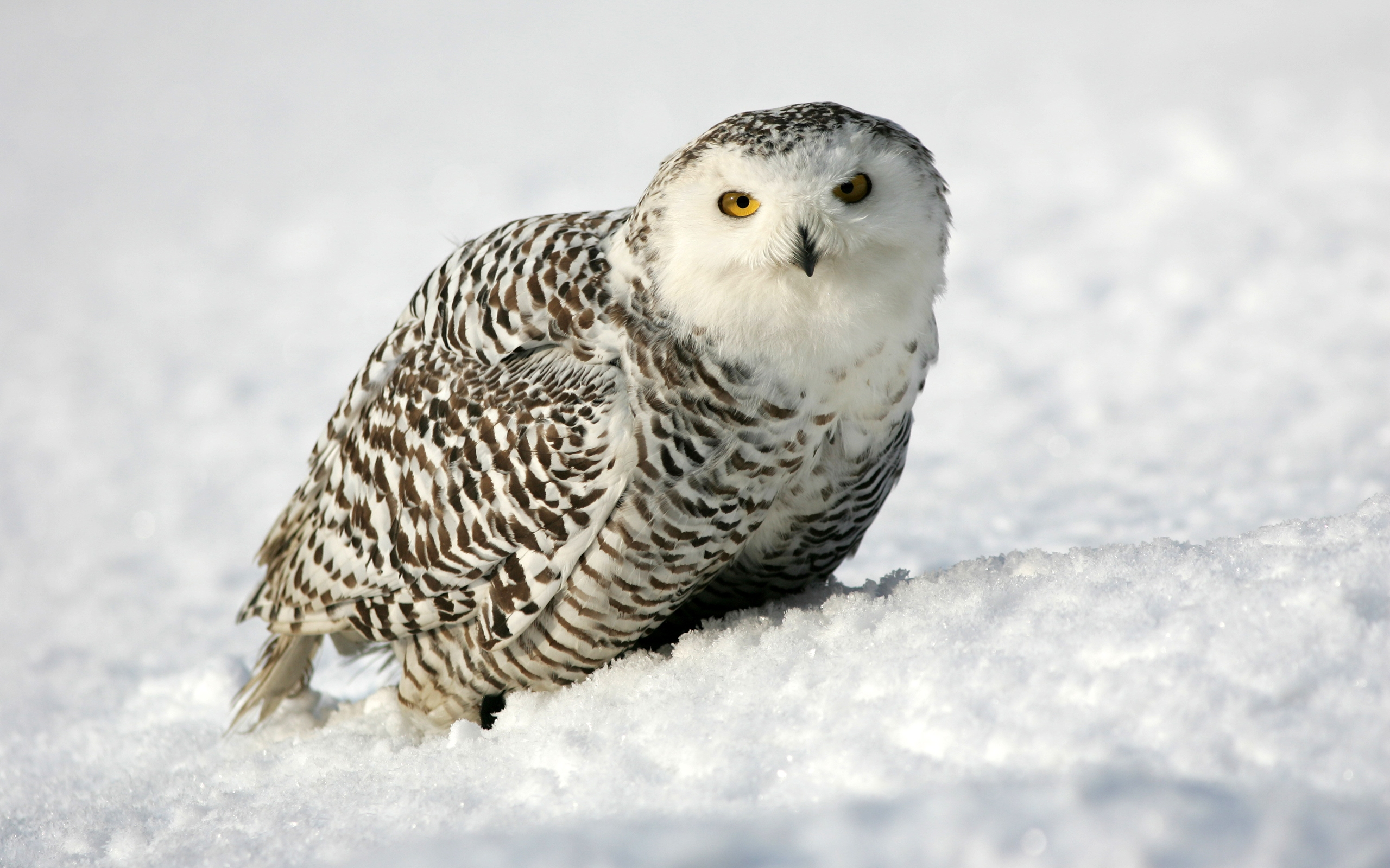 cute snowy owl wallpaper wwwpixsharkcom images