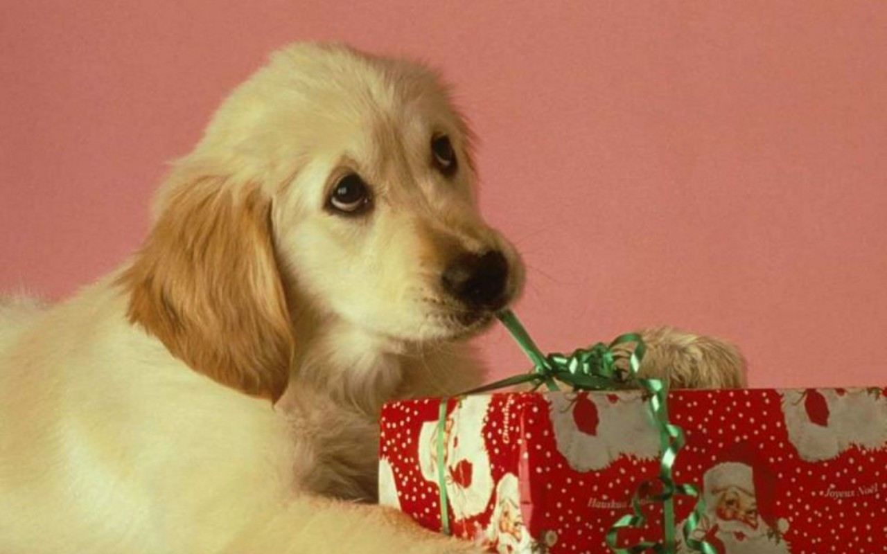 Free Download Christmas Puppy Puppies Wallpaper 15897188 1280x800 For Your Desktop Mobile Tablet Explore 49 Christmas Puppy Desktop Wallpaper Cute Puppy Desktop Wallpaper Boxer Puppy Desktop Wallpaper Summer Puppy Wallpaper Desktop