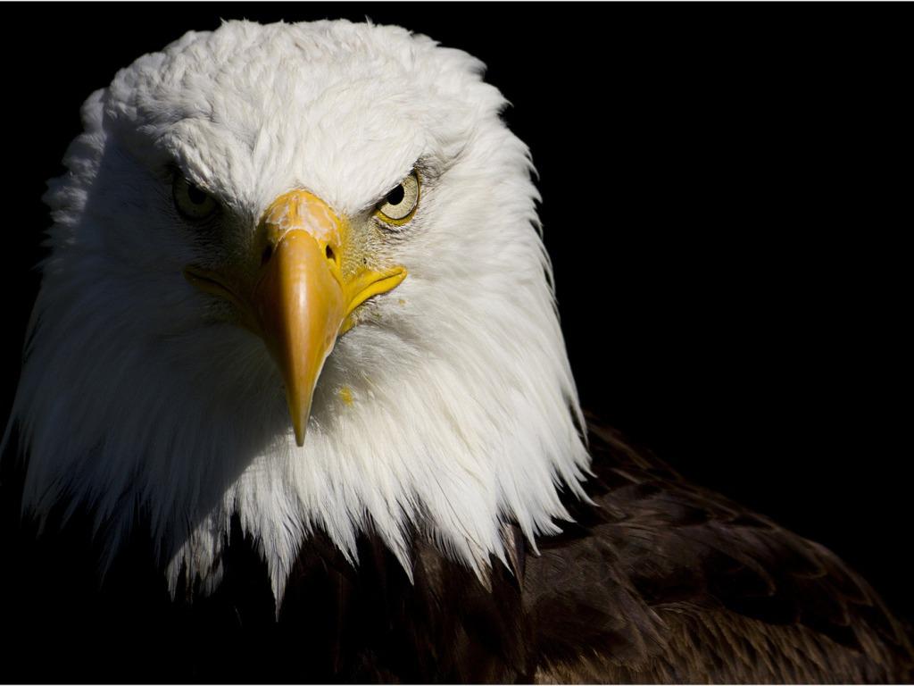 Eagle HD Wallpaper - WallpaperSafari