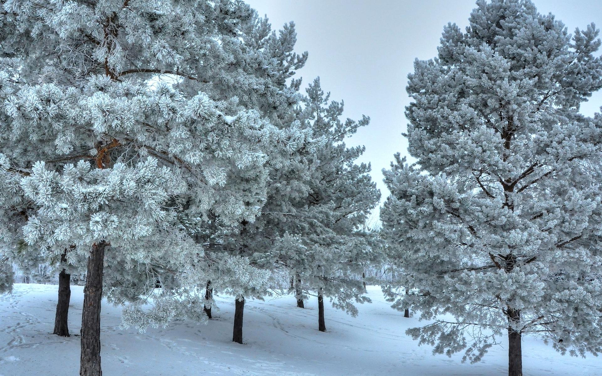 Snowy trees wallpaper 24614 1920x1200