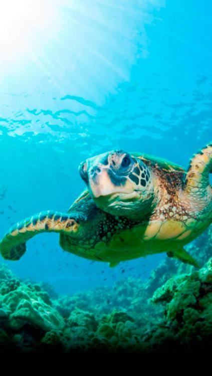 Sea Turtle Wallpaper For Iphone Wallpapersafari