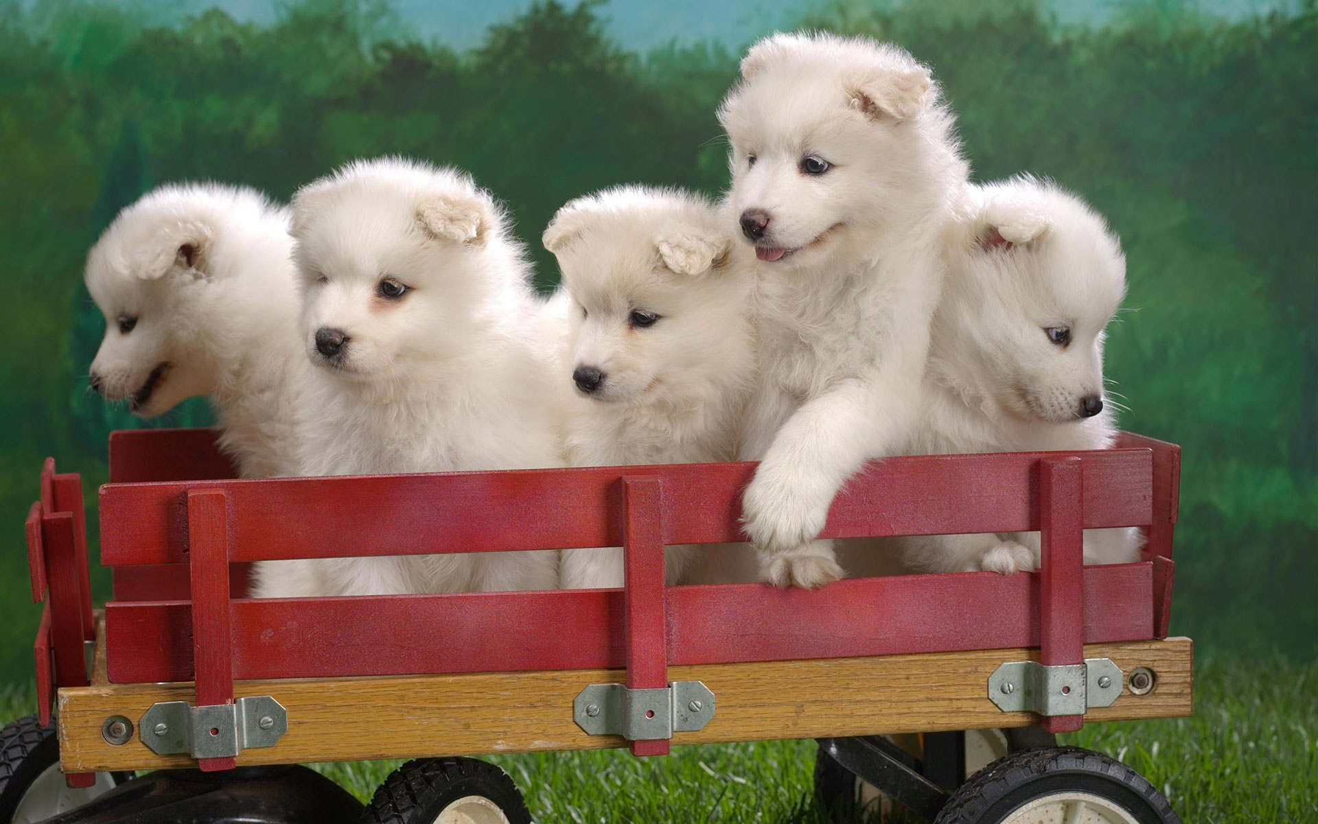 netsamoyed puppy screensaver whirlpool wagonload puppies 178789html 1920x1200