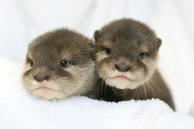 Six Flags Introduces New Baby Otters at Jackson Park 630x418