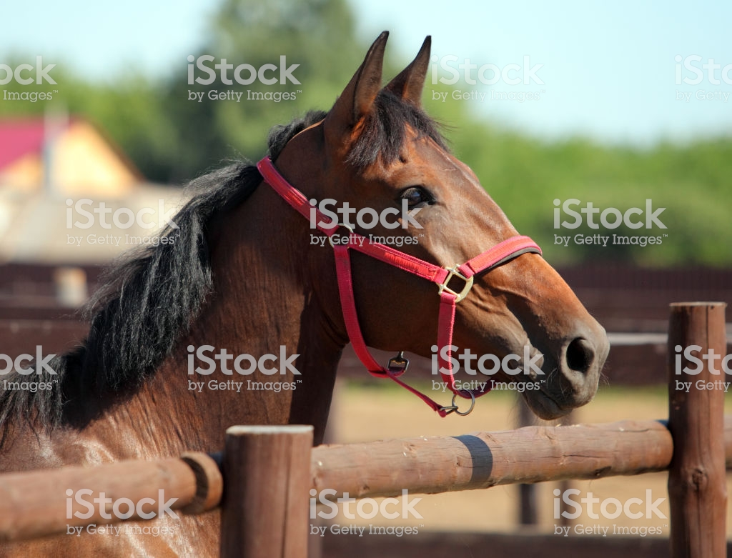 Thoroughbred Horse Against Corral Wooden Fence Background Stock 1024x781