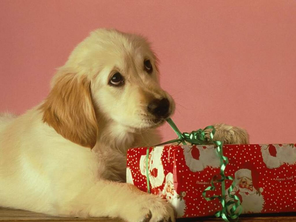 Labrador Puppy With Xmas Present   Christmas Animals Wallpaper Image 1024x768