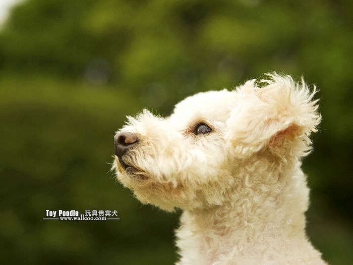 Lovable Toy Poodle Puppy Curly Coat Miniature Poodle Wallpaper 19 700x525