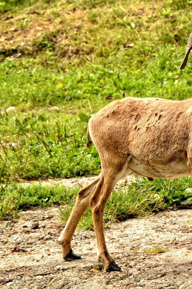 Mouflon European Mouflon Ovis Orientalis Musimon   nature 640x960