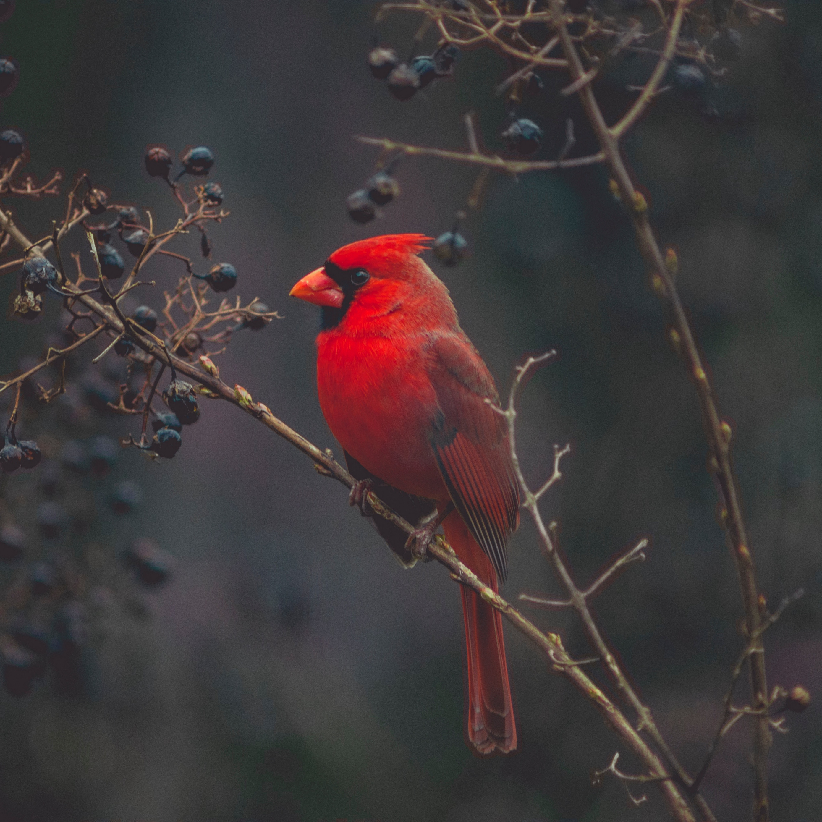 Download wallpaper 2780x2780 cardinal red bird branch ipad air 2780x2780