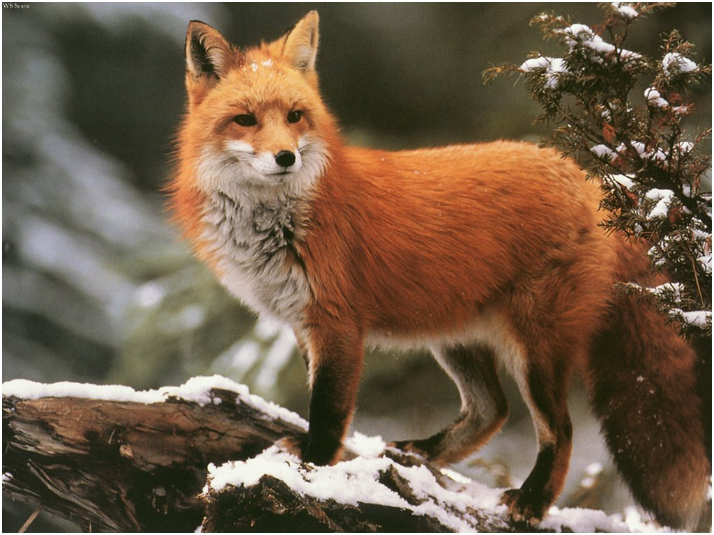 Free Download Red Fox Hd Wallpaper Background Images
