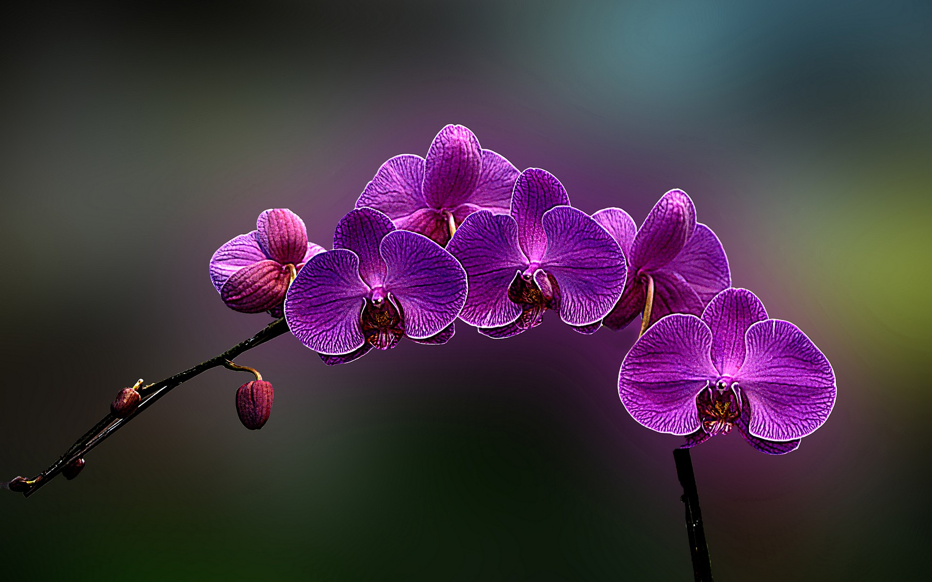 Flowers Orchids Wallpaper 1920x1200 Flowers Orchids Purple Flowers 1920x1200