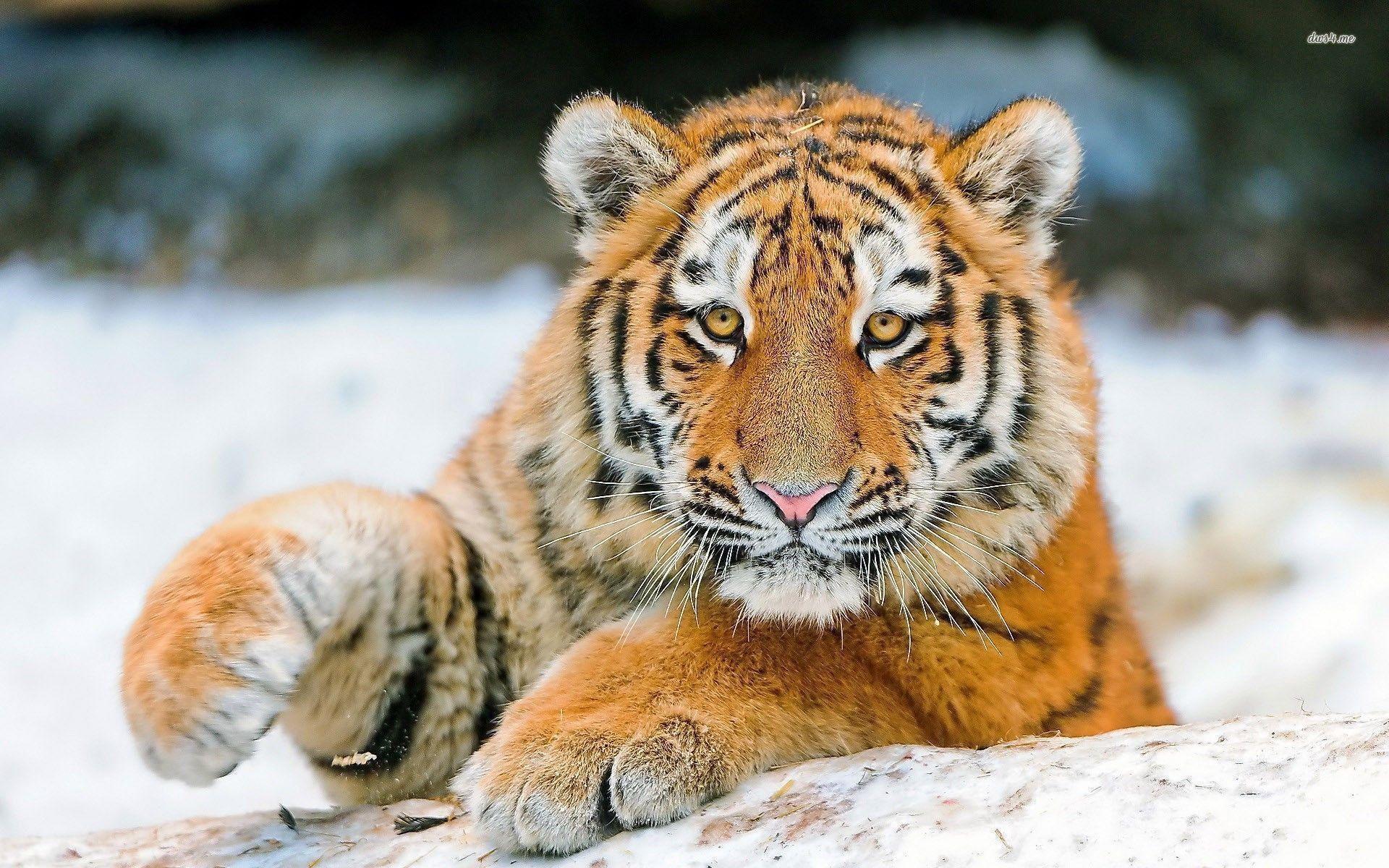 Cute Tiger Wallpapers 1920x1200