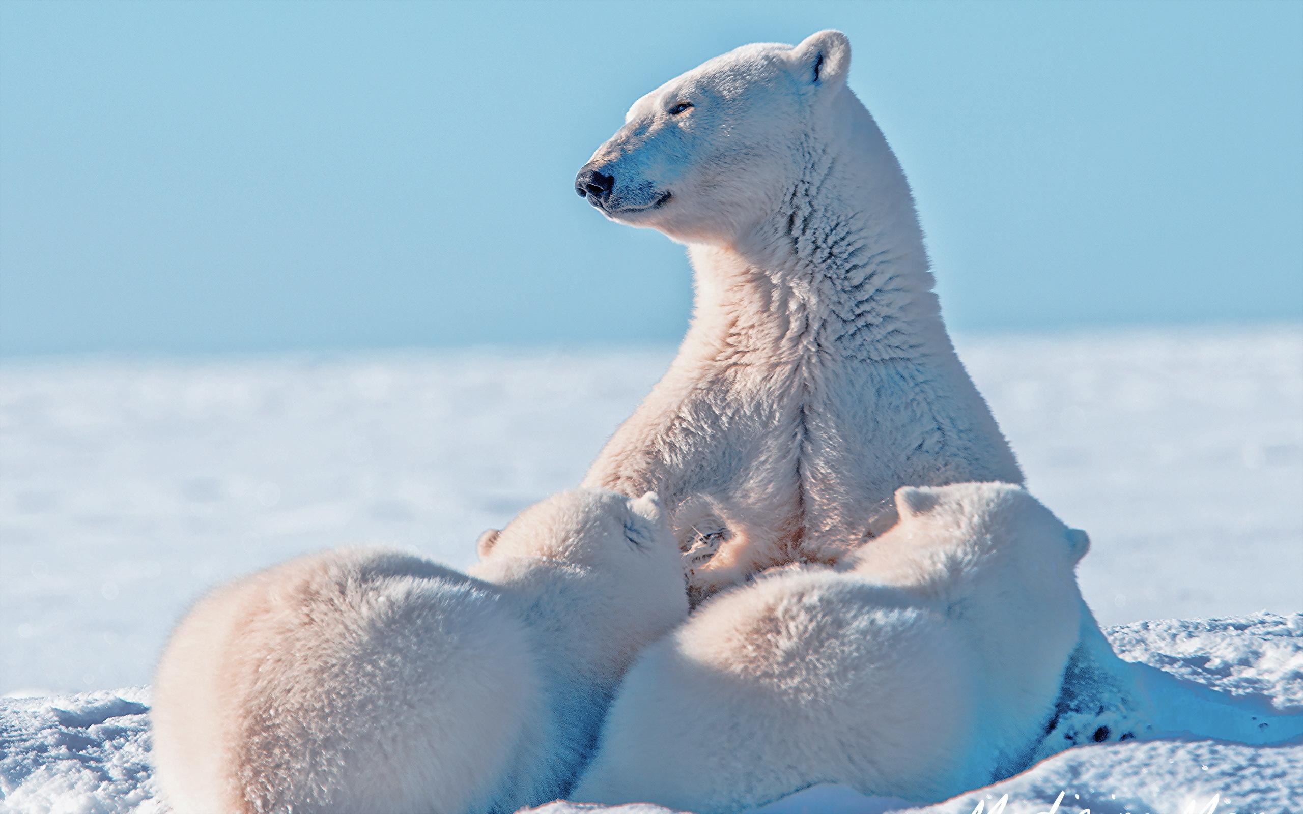 Polar Bear mother and cubs feeding Polar Bear mother and cubs 2560x1600