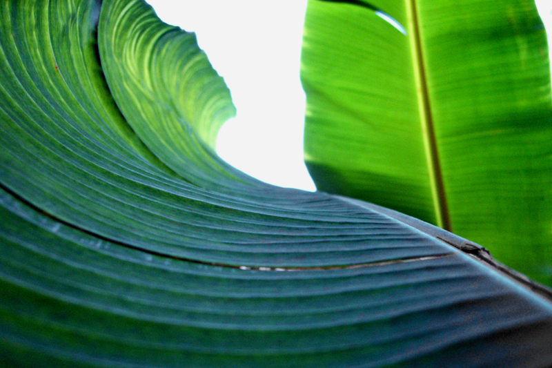 Pin Banana Leaves Wallpaper 7074 Open Walls 800x533