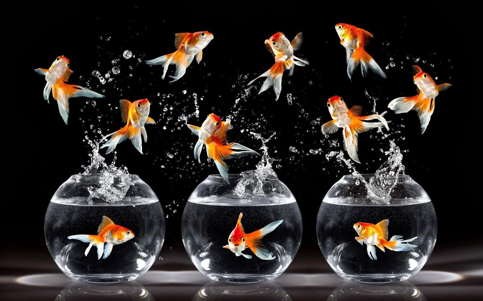Goldfish wallpaper for walls   beautiful desktop wallpapers 2014 1600x1000