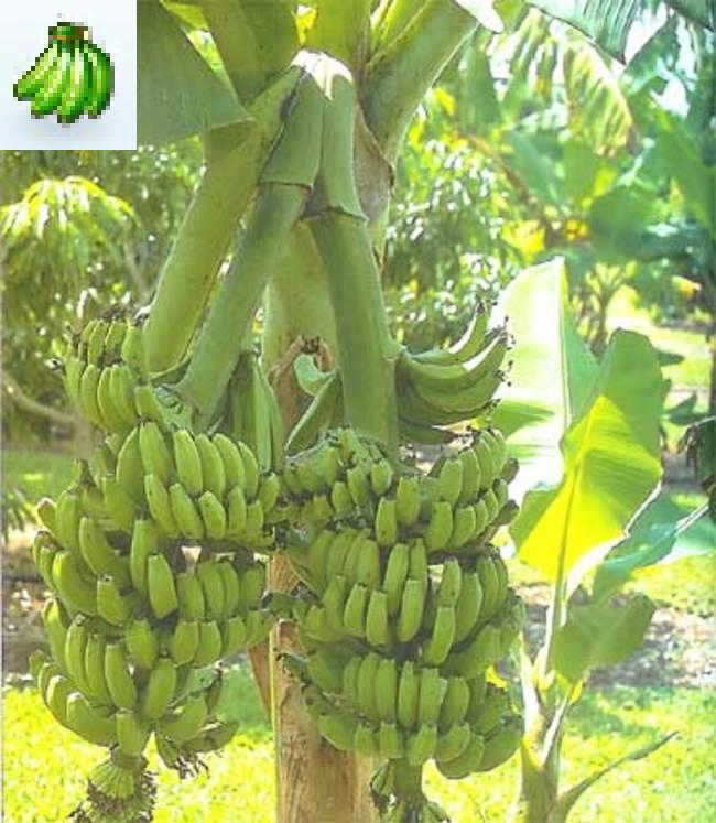 New Products For May   Banana tree plants 650x747