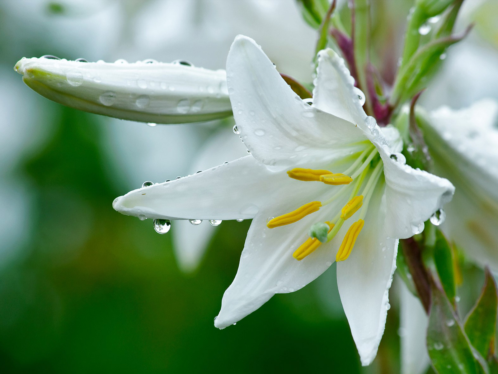 Flower Wallpaper of White Lilies with Macro Photo Style HD 1600x1200
