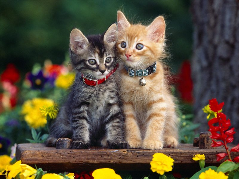 Kitten Wallpapers 800x600
