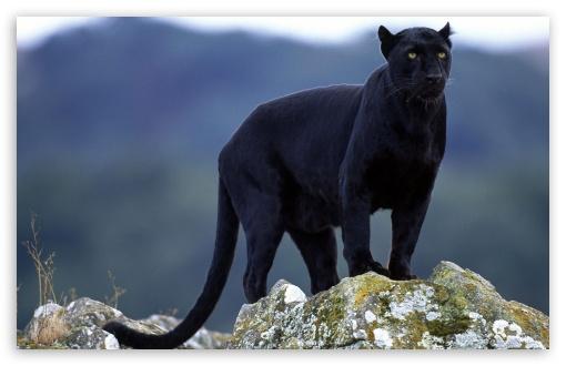 Black Panther HD wallpaper for Standard 43 54 Fullscreen UXGA XGA 510x330