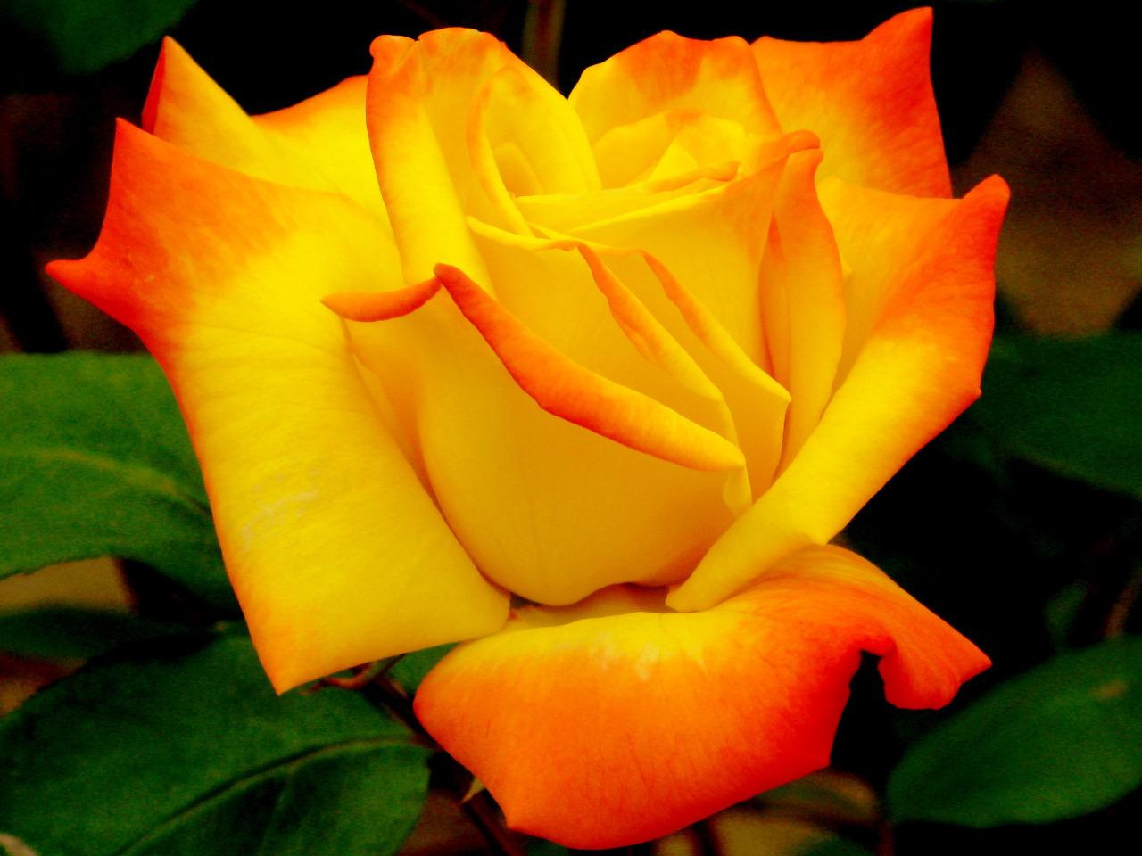 Image result for la rosa mas hermosas