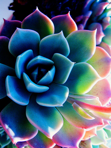 Free Download Midnight In Paris Colorful Succulent 375x500