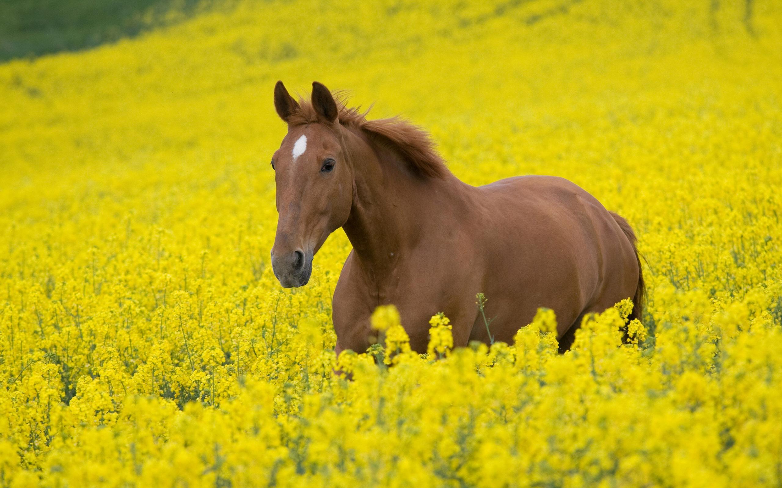 Free Download Brown Horse Wallpapers Desktop Wallpapers 2560x1600