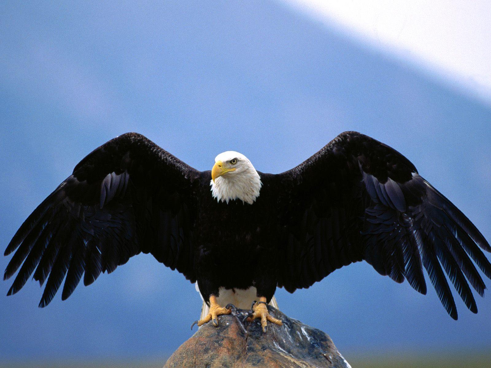 American Bald Eagle Wingspan 1600x1200 STANDARD Image Animals Wild 1600x1200