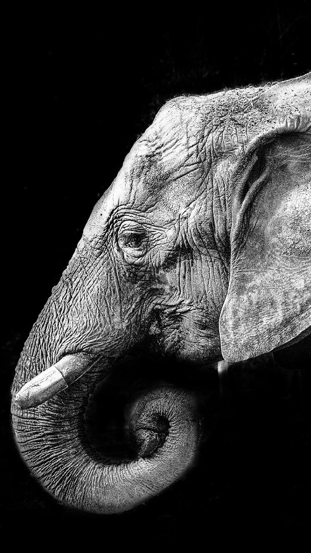 Elephant Iphone Wallpapers