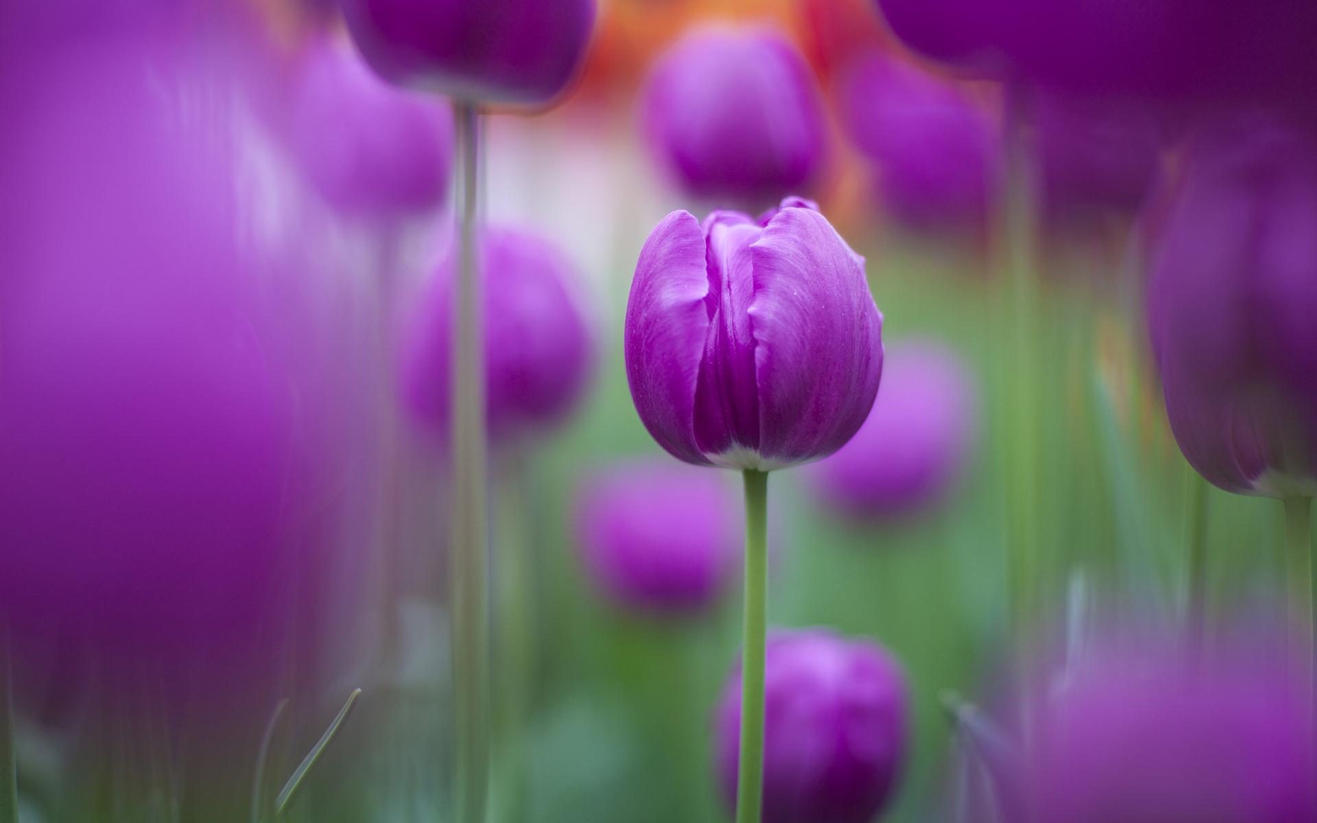 Purple Tulips Wallpapers HD Wallpapers 1920x1200