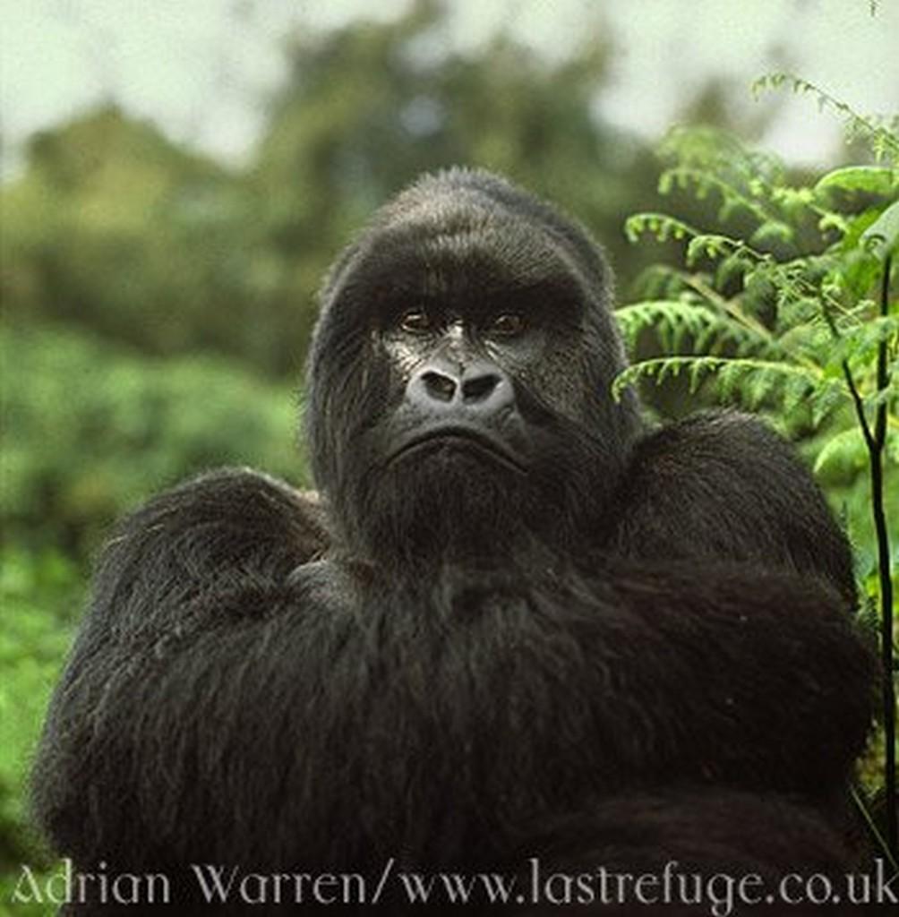 gorilla wallpaper bilder gorilla wallpaperbild und foto   Tier Bilder 1004x1024