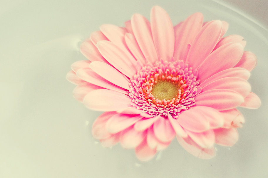 Pink daisy desktop wallpaper wallpapersafari - Gerber daisy wallpaper ...