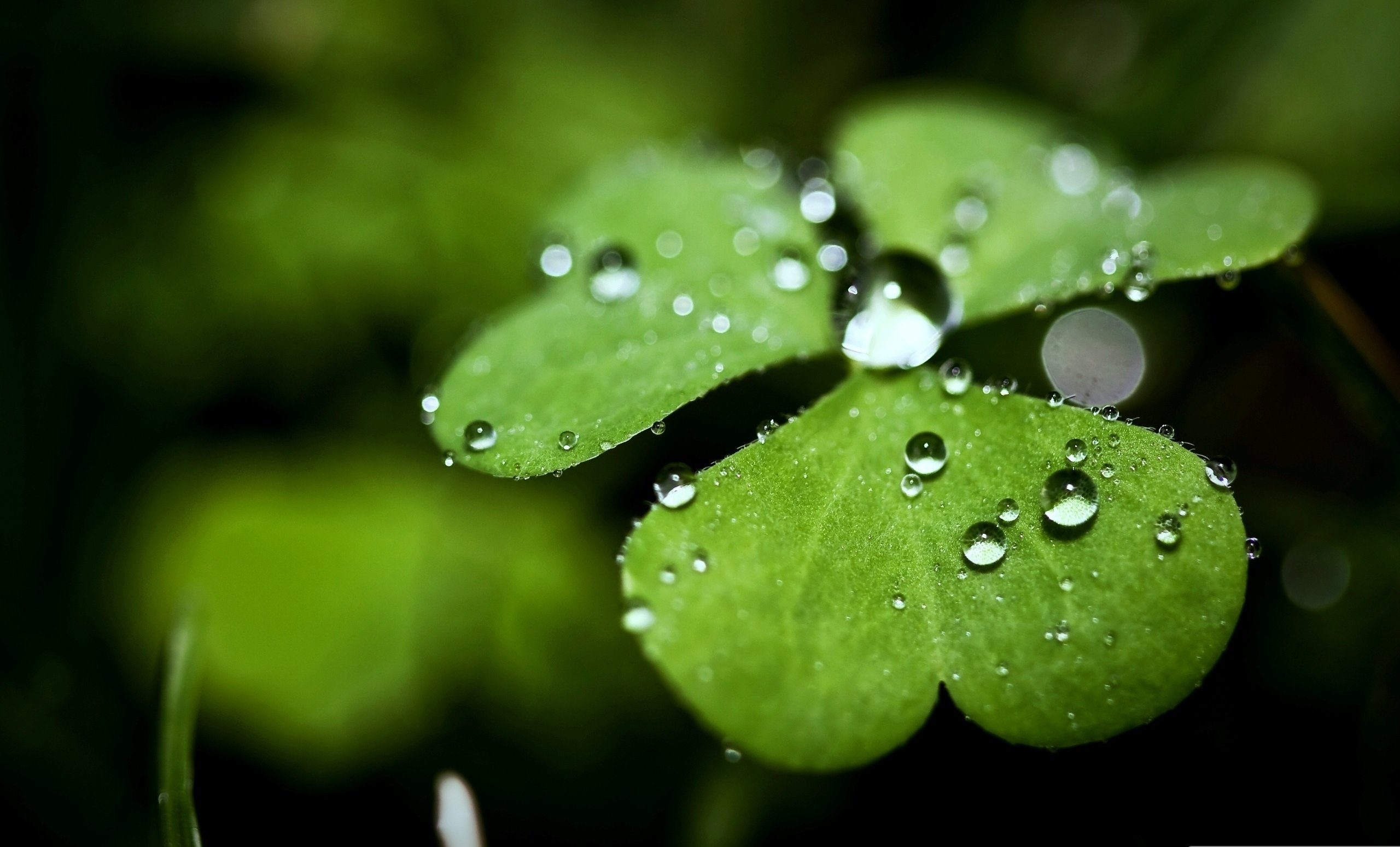 Download Four Leaf Clover Wallpapers HD 2560x1550