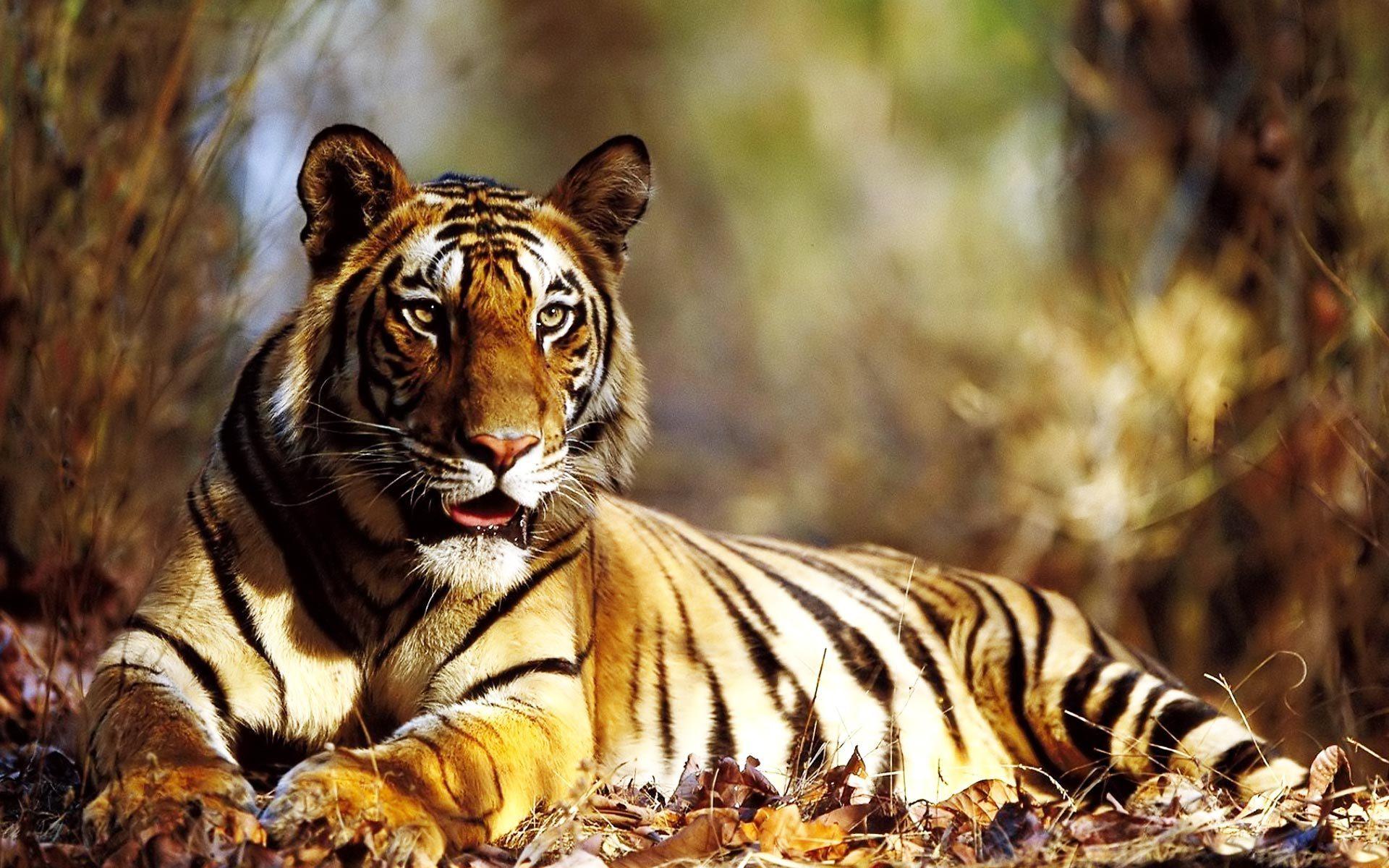 Siberian Tiger Mac Amazing HD Wallpaper Wallpaper Tiger 1103 high 1920x1200