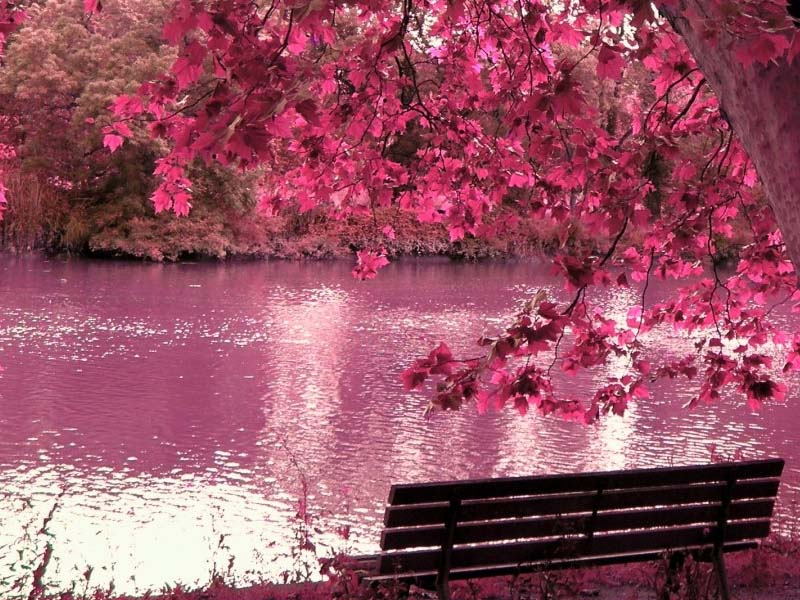 Japanese Cherry Blossoms Wallpaper - WallpaperSafari