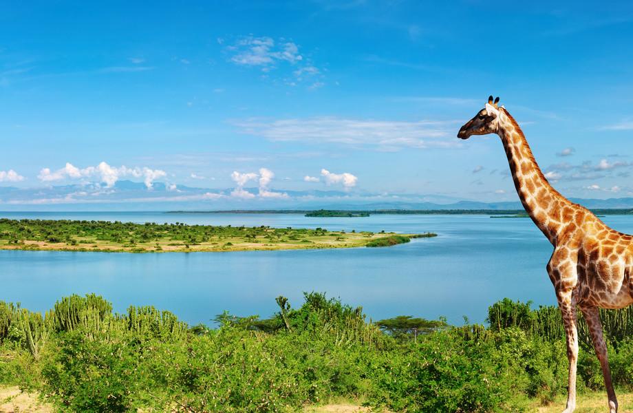 Giraffe at Nile river 4K Ultra HD wallpaper 4k WallpaperNet 920x600
