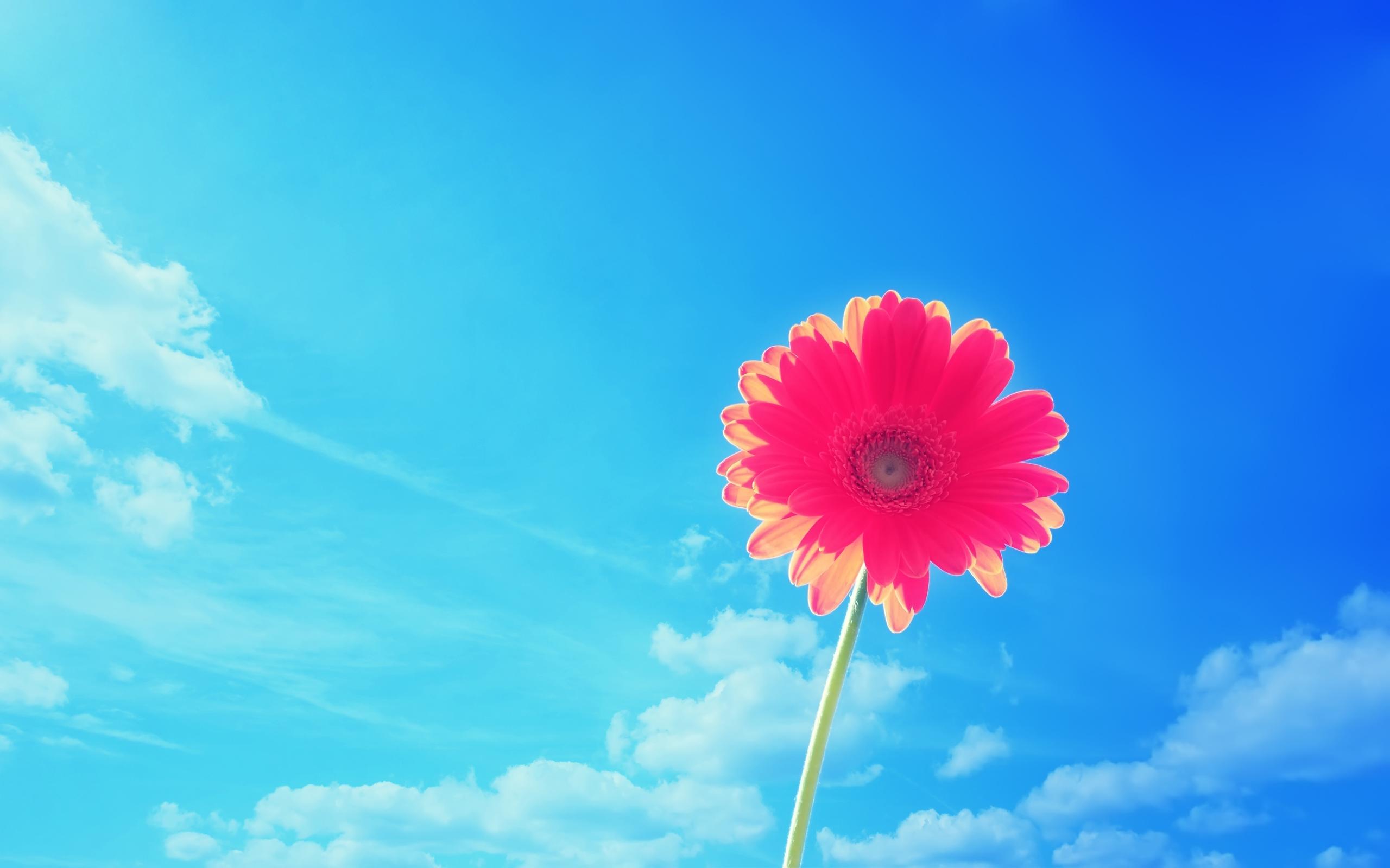 Pink Gerbera Flower Wallpapers HD Wallpapers 2560x1600