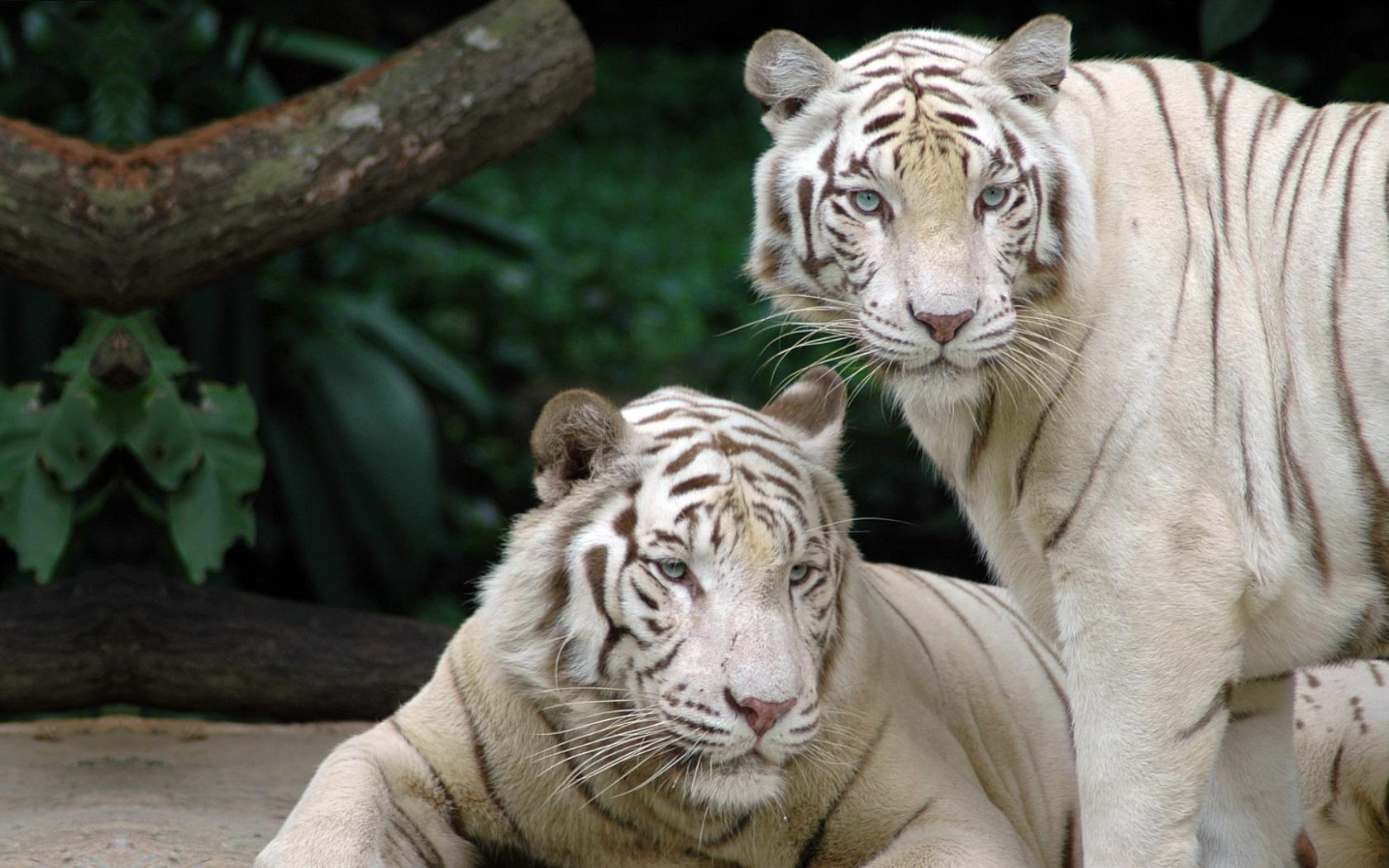 White Bengal Tiger Wallpaper 10656 Hd Wallpapers in Animals   Imagesci 1680x1050