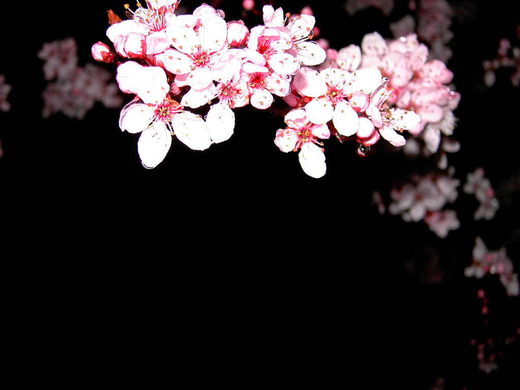 Cherry Blossoms Wallpaper 1024x768 Cherry Blossoms Flowers 1024x768