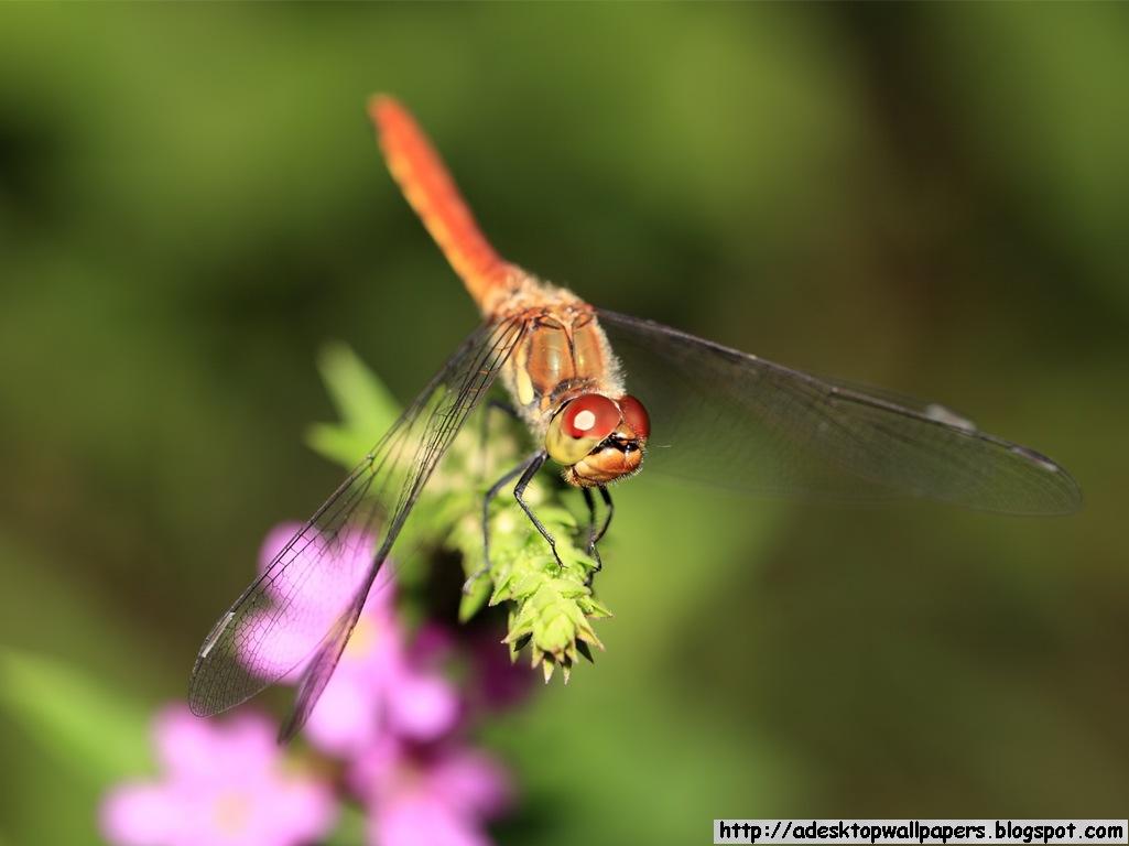 Dragonfly Animal Desktop Wallpapers 1025x768