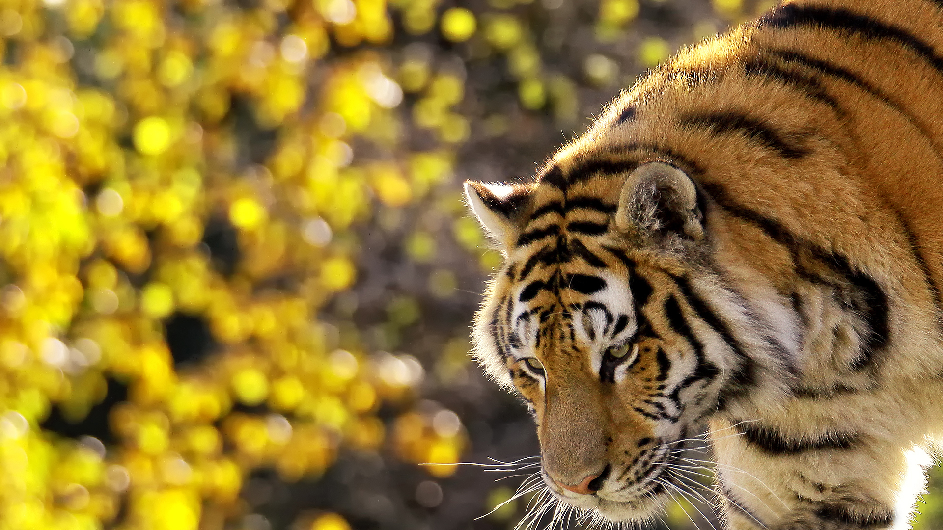 ultra high definition wallpapers tigers - photo #9