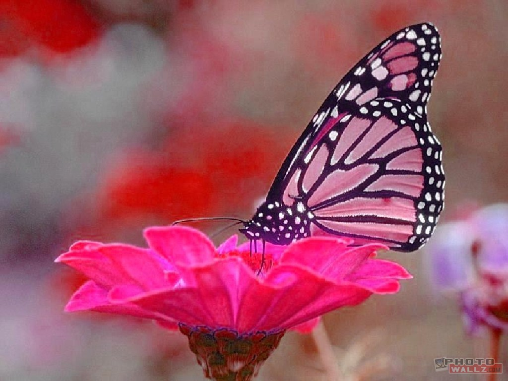 nature pink butterfly pc1 150x150 Pink Butterfly hd wallpaper 1024x768